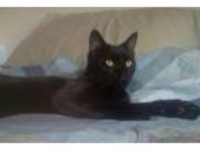 Adopt Grease a Domestic Short Hair