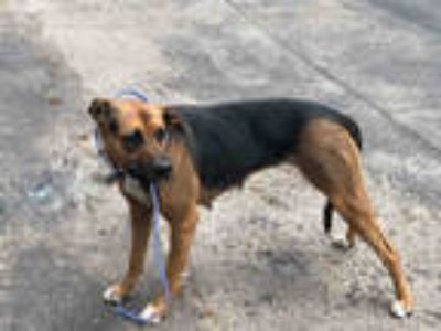 Adopt AMBER a Brown/Chocolate - with Black German Shepherd Dog / Mixed dog in