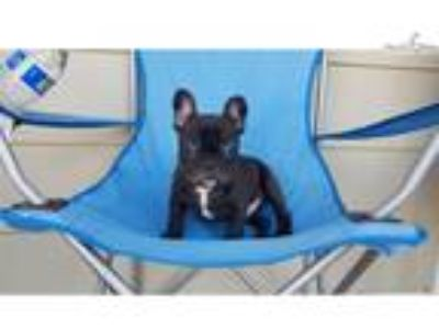AKC French Bulldog Boy