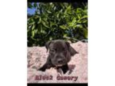 Adopt Black Canary a Labrador Retriever