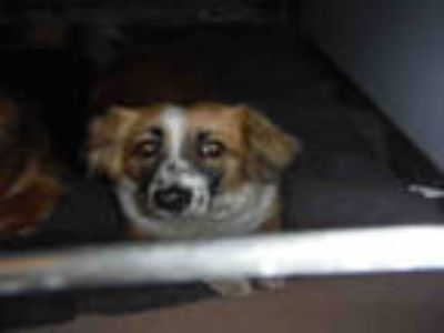Adopt #LOUISE a Tricolor (Tan/Brown & Black & White) Corgi / Mixed dog in San
