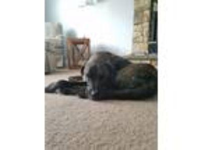 Adopt Hudson a Brindle Boxer / Labrador Retriever dog in Catonsville