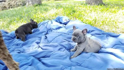 Friendly FRENCH Bulldog (brother and sister twin) to good home