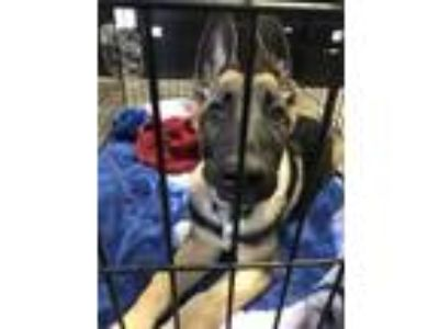Adopt Loki (Thanos) a Black German Shepherd Dog / Mixed dog in Santa Paula