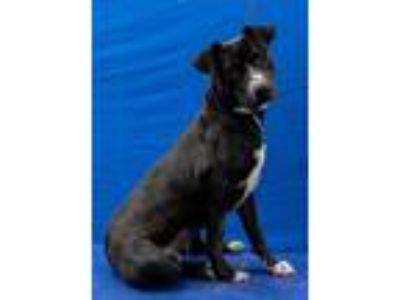 Adopt Remi a Black - with White Pit Bull Terrier / Labrador Retriever / Mixed