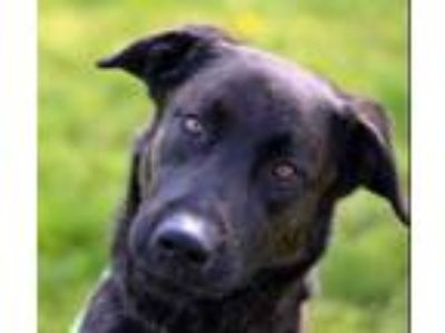 Adopt Heath a Black Shepherd (Unknown Type) / Mixed dog in Pasco, WA (21332308)