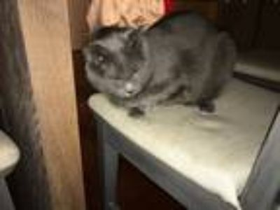 Adopt Oliver a Gray or Blue Chartreux / Mixed cat in Washington Twp