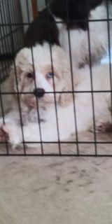 Male cockapoo puppy
