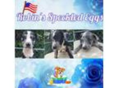 Adopt Robin's Speckled Eggs a Catahoula Leopard Dog