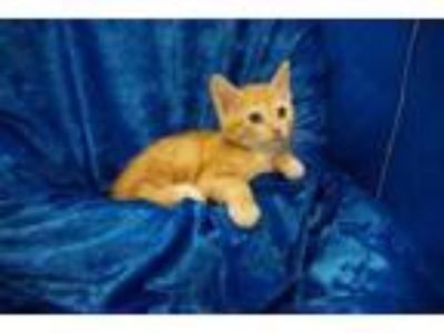 Adopt Taffy a Bengal, American Shorthair