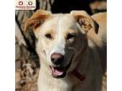 Adopt Rosie a Tan/Yellow/Fawn Mixed Breed (Large) / Mixed dog in Nashua