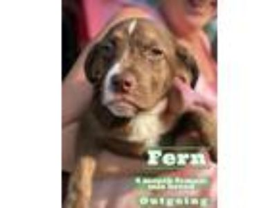 Adopt Fern a Brown/Chocolate - with White Hound (Unknown Type) / American