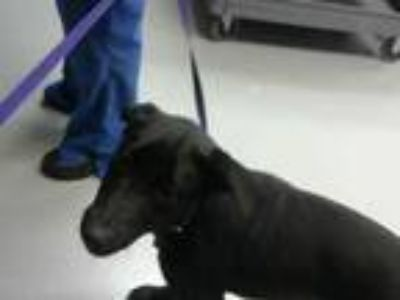 Adopt PENNY a Black - with White Labrador Retriever / Mixed dog in Fayetteville
