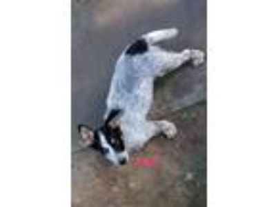 Adopt Mel a Australian Cattle Dog / Blue Heeler