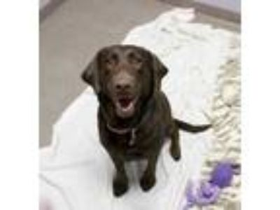 Adopt Susie a Brown/Chocolate Labrador Retriever / Mixed dog in Bloomingdale