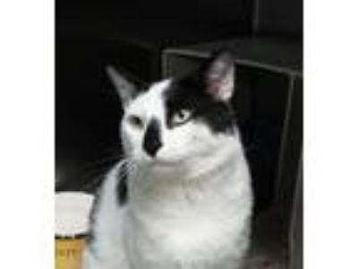 Adopt Newman a Domestic Short Hair