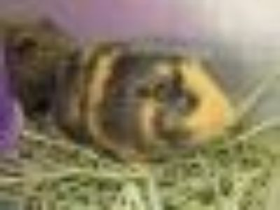 LUCY Guinea Pig Small & Furry