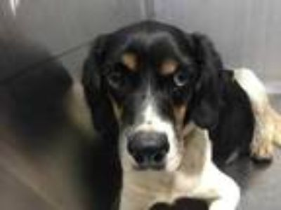 Adopt Ann a Black Spaniel (Unknown Type) / Beagle / Mixed dog in Fort Worth