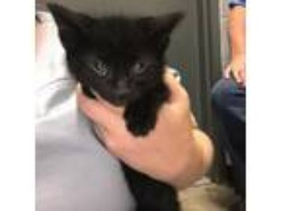 Adopt Betsy Kitten 2 a Domestic Short Hair