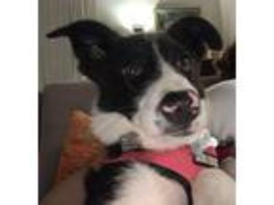 Adopt Roger Dodger a Black - with White Border Collie / Mixed dog in Beverly