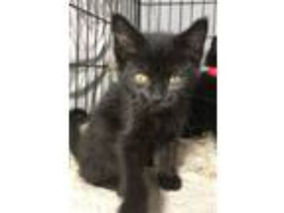 Adopt Bear a Domestic Medium Hair