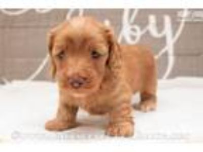 Carrie - Red female SILKY WIREHAIR
