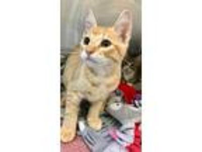 Adopt Hayden a Orange or Red Domestic Shorthair / Domestic Shorthair / Mixed cat