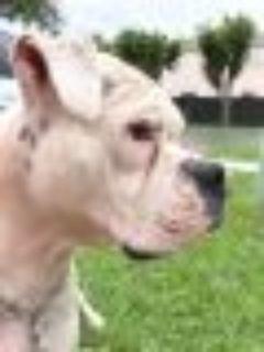 Coco Boxer Dog