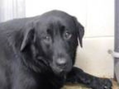 Adopt Charlotte a Labrador Retriever, Great Pyrenees