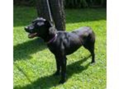 Adopt Ebony a Black Labrador Retriever