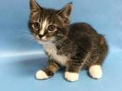 Adopt Fern a Brown or Chocolate Domestic Shorthair / Domestic Shorthair / Mixed