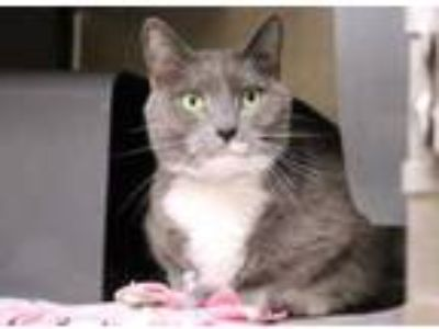 Adopt Gotti a Gray or Blue Domestic Shorthair / Domestic Shorthair / Mixed cat