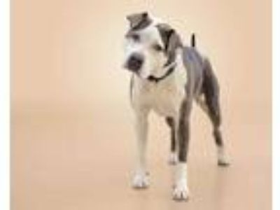 Adopt PENELOPE a Gray/Silver/Salt & Pepper - with White American Pit Bull