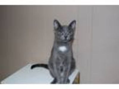 Adopt Tina Turner a American Shorthair