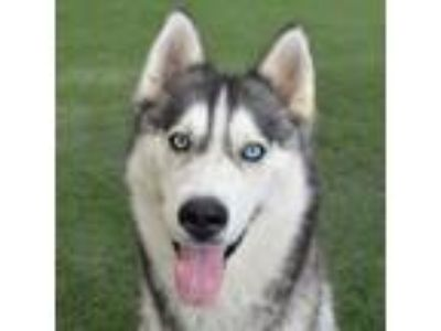 Adopt Sasha a Black - with White Siberian Husky / Mixed dog in Burlingame