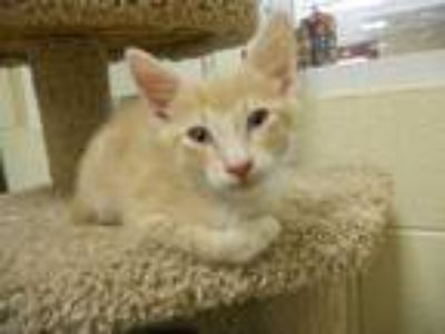 Adopt KENNY a Orange or Red Tabby Domestic Shorthair / Mixed (short coat) cat in