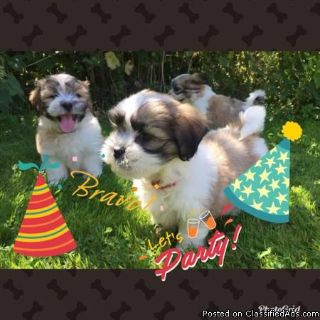 Greetings CL:Now available ARE 3 Amazing 3months Old Shih Tzu Pups