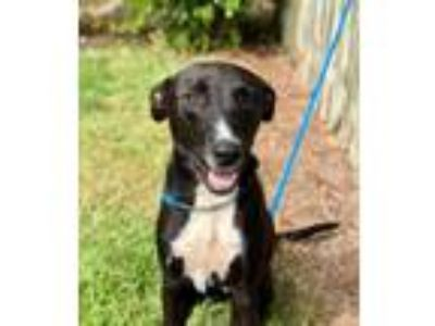 Adopt Rudder a Labrador Retriever