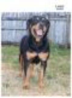Lulu Rottweiler Dog