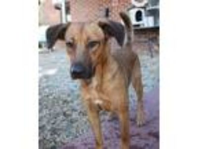 Adopt Essy a Brown/Chocolate German Shepherd Dog / Mixed dog in Phenix City