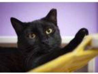 Adopt Morgan a All Black Domestic Shorthair / Domestic Shorthair / Mixed cat in