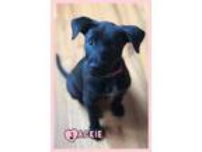 Adopt Jackie a Black Labrador Retriever / Mixed dog in Elburn, IL (25944259)