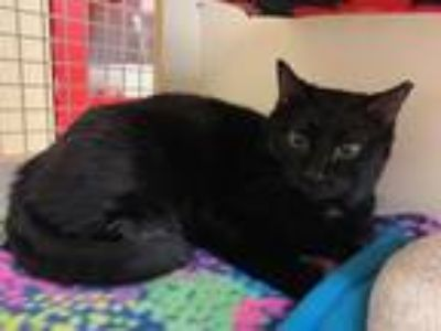 Adopt Lumen a All Black Domestic Shorthair / Mixed (short coat) cat in Dallas