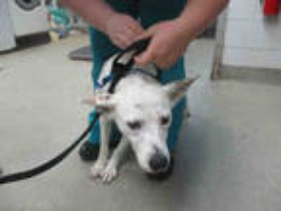 Adopt a White - with Black Australian Cattle Dog / Mixed dog in Oklahoma City