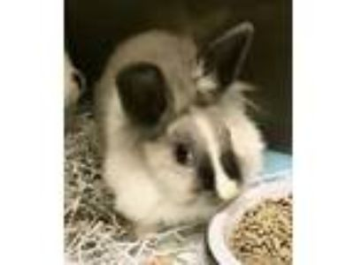 Adopt Strudel a White Other/Unknown / Other/Unknown / Mixed rabbit in Santa