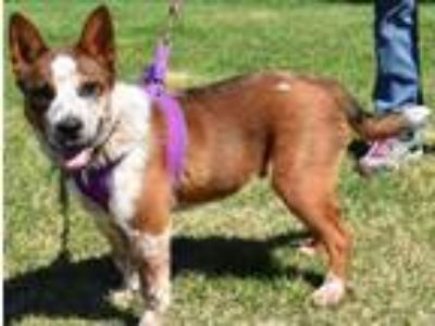 Adopt Pip a Australian Cattle Dog / Blue Heeler