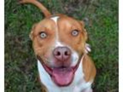 Adopt Peter- a Brown/Chocolate American Pit Bull Terrier / Mixed dog in