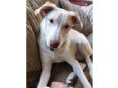 Adopt Franklin a Tan/Yellow/Fawn Labrador Retriever / Collie / Mixed dog in