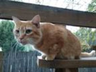 Adopt Victoria a Orange or Red Tabby Domestic Shorthair (short coat) cat in