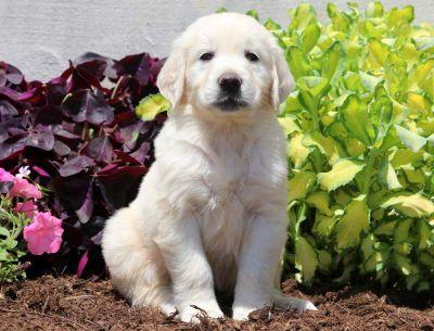 Golden Retriever PUPPY FOR SALE ADN-79214 - English Cream Golden Retriever Puppy